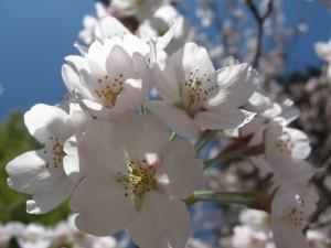 20150402桜 (1)